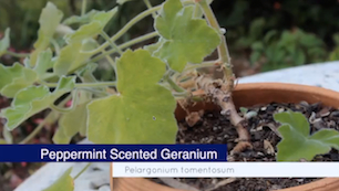 Link to Peppermint Scented Geranium video