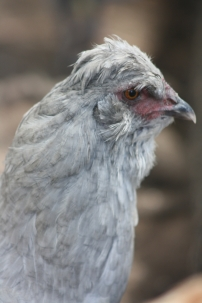 Our lavender Araucana hen Stella is favourite of mine to take out for chook keeping workshops and talks.