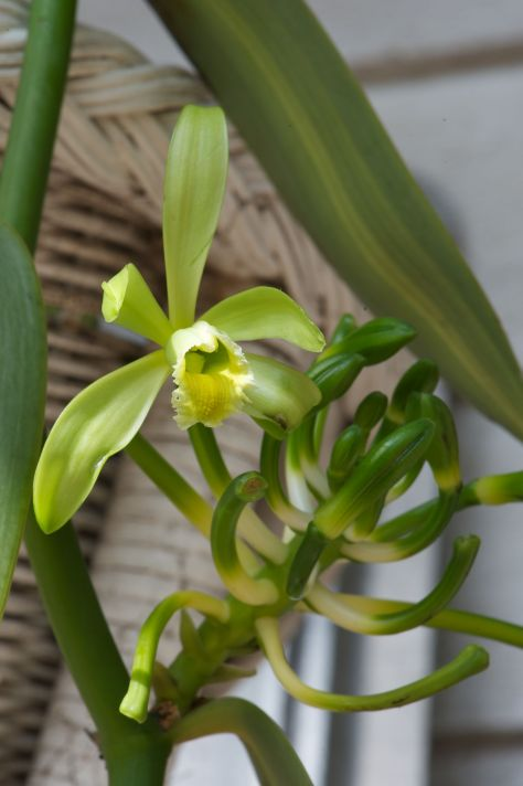 Vanilla orchid. The Vanilla planifolia has the most intriguing and beautiful lime green flowers that are produced in abundance throughout the spring months.