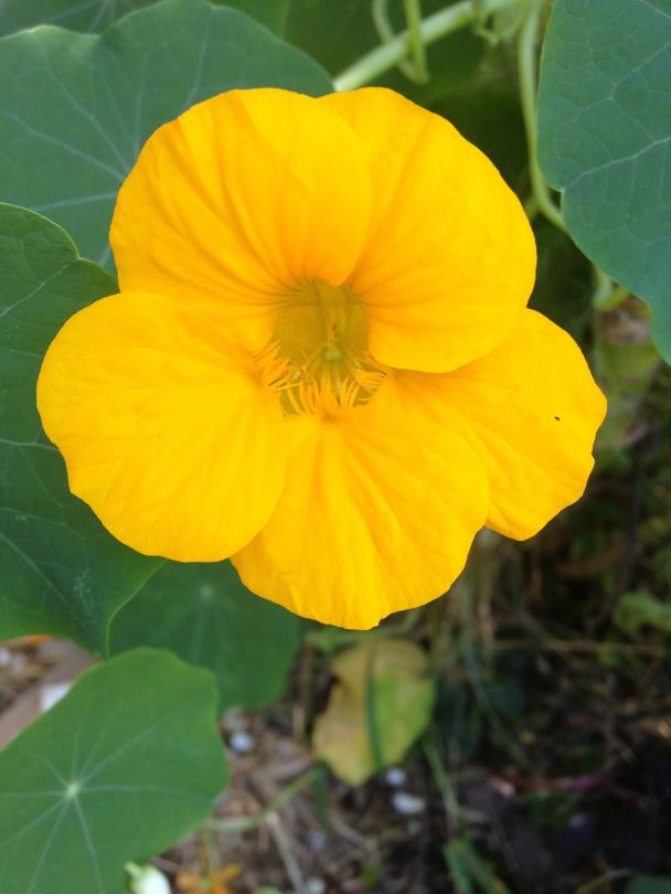 The Nasturtium is one of the easiest edible flowering plants to grow. You can use the flowers and leaves in salads and the bees just love them too