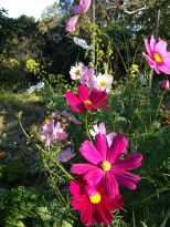 The flowering annual Cosmos makes a great addition to the flower garden but the edible garden as well due to it's attractiveness to beneficial and pollinating insects.