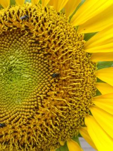 I love sunflowers and so do our native bees, if you look closely enough you see a couple busy at work on this sunflower.
