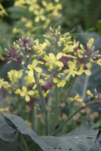 Letting your brassicas go to flower once you have had several harvests means that the bees and various other insects get to enjoy them too.