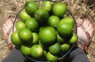 Tahitian limes are the best variety to grow in South East Qld