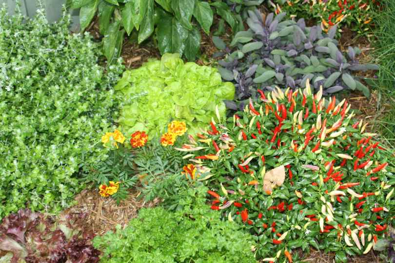 Edible gardens can be ornamental. A collection of herbs, salad greens and marigolds planted together just go to show how attractive they can be in any garden situation