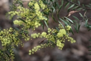 This is a beautiful wattle bearing fragrant lemon coloured flowers growing to 5m and there is a dwarf form.