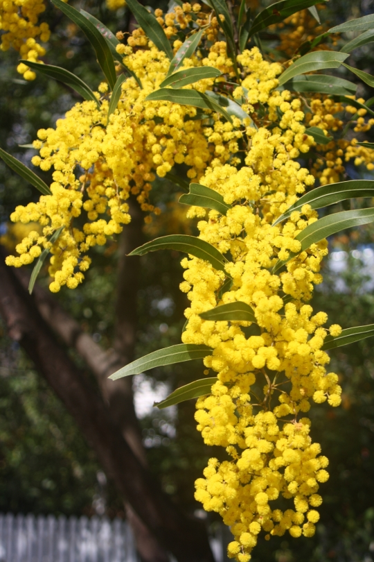 This wattle bears unusual zigzag shaped stems, the flowers are bright gold in colour. It is a fast growing small tree to 5m.