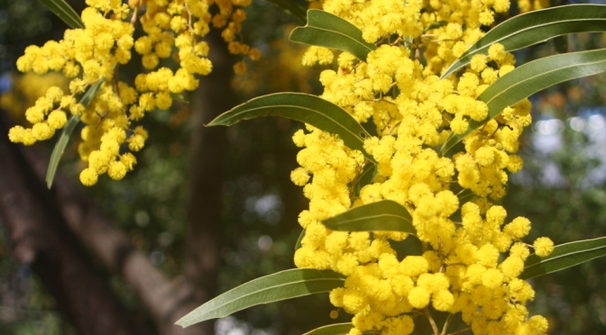 Natives for all gardens claire bickle native beauties of winter the wattle flowers galore mightylinksfo