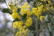 Growing to 5m this wattle stands out due to its striking silver foliage.