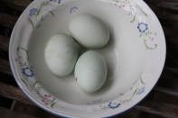 This breed is sometimes called the Easter Egg chicken due to the pale blue colour of their eggs.