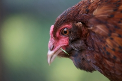 This is Betty's sister Tiger, another Araucana cross.