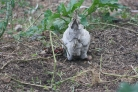 One of our lavender coloured Araucana hens clearing the vegetable garden of the season past it edible crops.