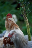 This is Flash our Araucana rooster cross having fun picking the last of the kale.