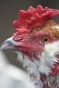 Flash our Araucana cross rooster - close up