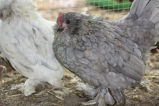 Belgians are a great bantam breed for the smaller backyard.