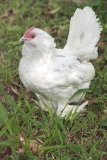 This is Dot our oldest chook in the flock at the ripe old age of nearly 9-10 yrs.