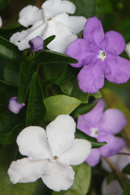'Yesterday Today and Tomorrow' is an old fashioned shrub growing to around 2m and produces flowers that initially start off purple then fade to mauve and then white. The fragrance is outstanding.