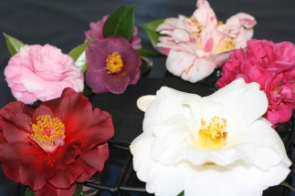 Camellia assortment