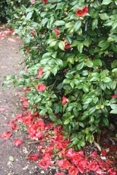 Camellia Carpet