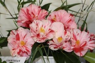 Camellia japonica 'Courtesan'