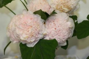 Camellia japonica 'Mrs D.W. Descanso'