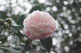 Camellia japonica 'Otome'
