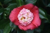 Camellia japonica 'Tinsie'