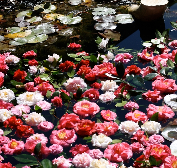 The Queen of the Winter Flowers – Camellias