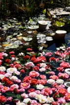 Camellias floating in the Toowoomba Tafe pond. So decorative
