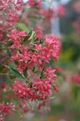 Growing to around 6m the flowers are actually white and it is the calyxes that appear afterwards that are red.