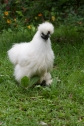 White Silkie hen 'Princess' is one of the most loved by all children who meet her.