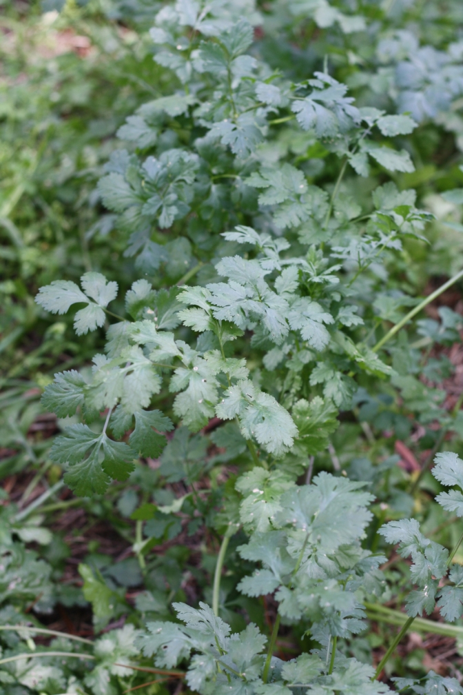 Coriandrum sativum also known as Cilantro is the most commonly used coriander in cooking but it is difficult to grow during the warmer months of the year.