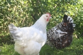Snowball our Coronation Sussex cruising the backyard with fellow Sussex Saffron.