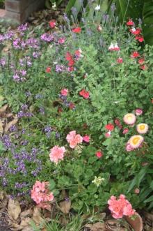 Paper daisies, Nemesia, Salvia, Geranium, French lavender, and Cleome.