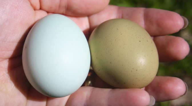 Once in a Blue Moon – The Araucana Chicken.