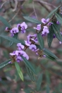 The Hovea is a fast growing shrub to 2m bearing purple pea shaped flowers in spring.