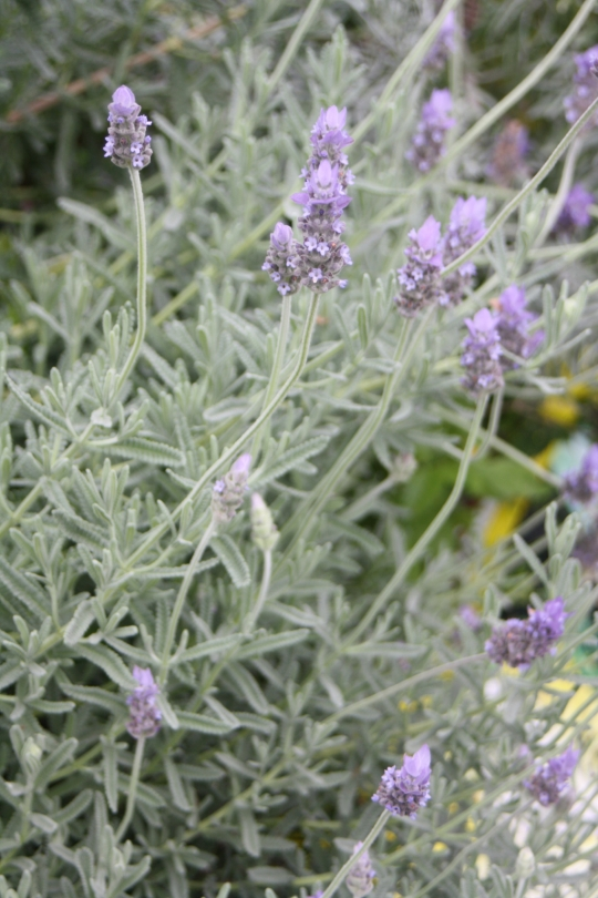 This is truly the best variety of lavender to grow in the subtropics, tolerating our humidity far better than any of the English or Italian varieties.