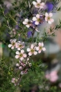 This particular tea tree cultivar is a favourite amongst many a home gardener for it's delicate pink flowers. Growing to around 1.5m.