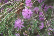 A wonderfully hardy native shrub growing 1m. it also comes in a pink and a white flowering form.