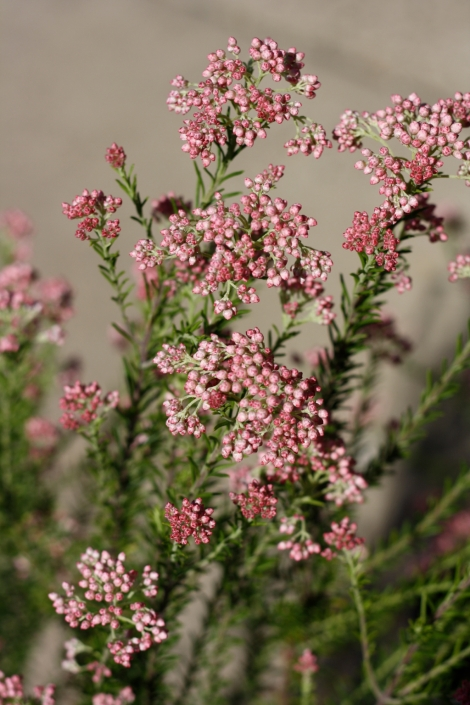 This is the pink form of rice flower commonly used in flower arrangemenst it also makes a great backyard shrub. Comes in white also.