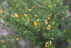 This is a busy shrub growing around 2m. It bears yellow pea shaped flowers with red markings.