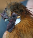 Rusty the Buff Silkie Rooster