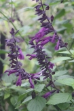 Growing to 1.5m this is one of the darkest purple flowering perennial salvias.