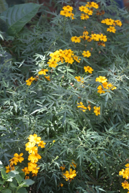 This hardy perennial marigold grows to around 1m and produces flowers throughout autumn and spring.