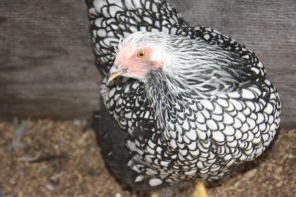 Silver laced Wyandotte are a real show stopper in the backyard with their stunning plumage.
