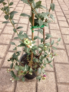 Blueberry - Vaccinium spp