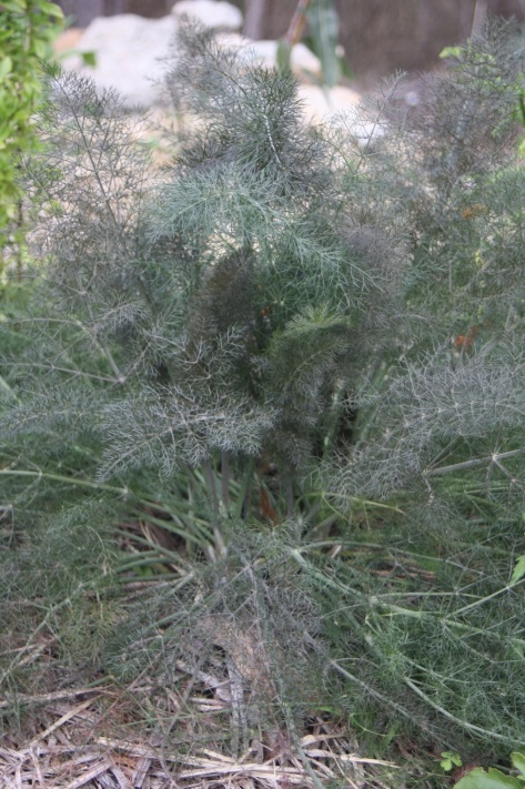 attractive bronze fennel