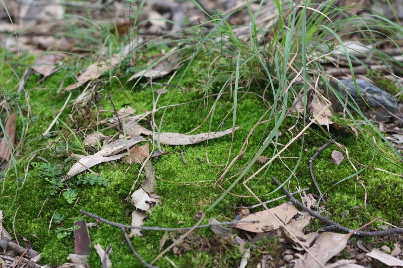 ferms germinating in moss