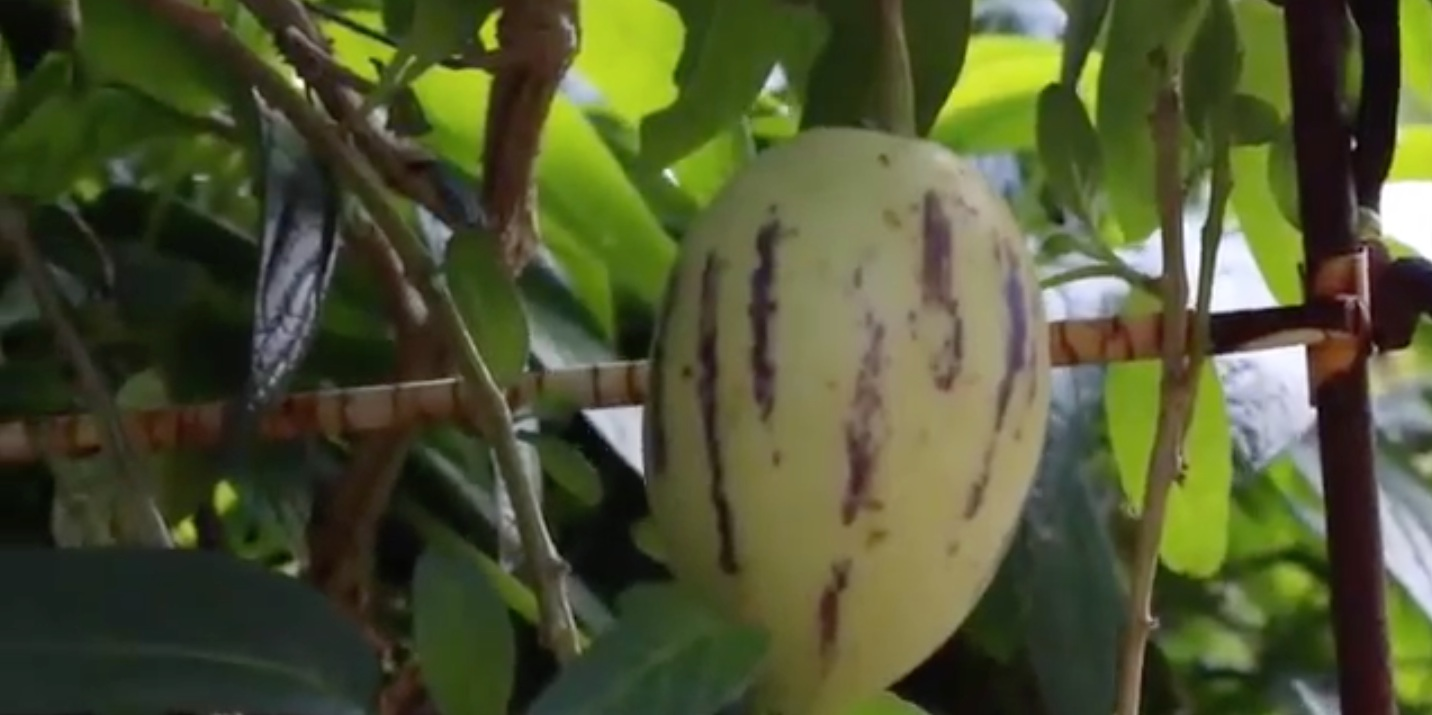 Link to Pepinos and Potted fruit trees video