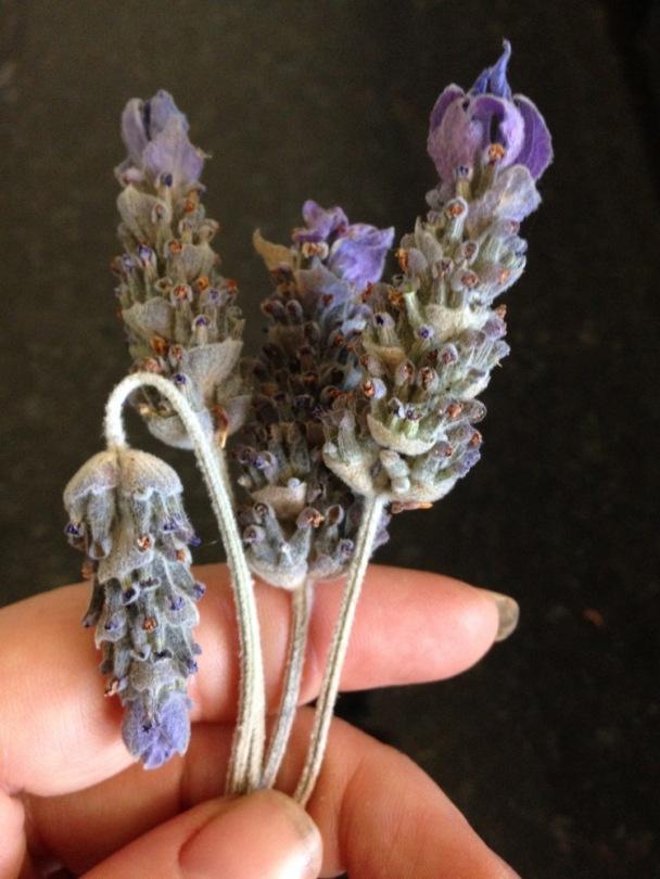 dried lavender